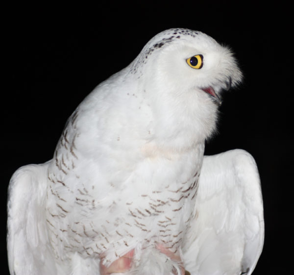 Photo of Austin, a young male snowy owl that was outfitted with a tracker as part of NRF's support of Project SNOWStorm