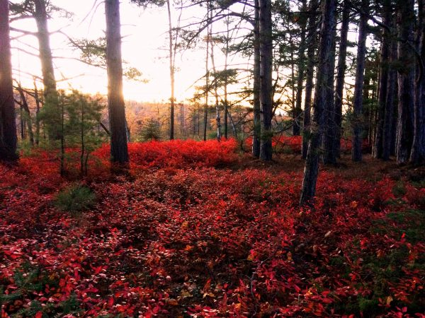 Crimson autumn foliage from wild blueberry on Madeline Island. Photo captured by wildlife camera.